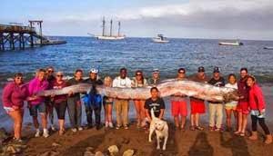 Sejumlah warga mengangkat bangkai ikan oarfish sepanjang 5,5 meter di pantai California