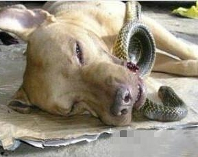 Anjing setia berani melawan ular cobra